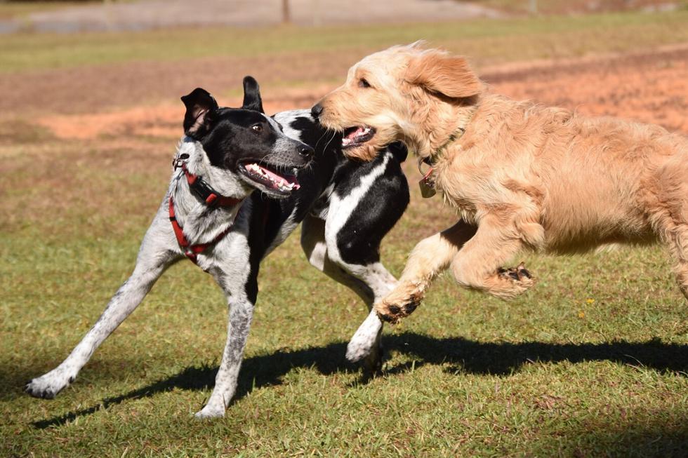 Dos perros se enfrascaron en una adorable pelea que dejó fascinado a más de uno en las redes sociales. (Fotos: Pixabay/Referencial)