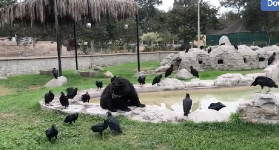 Denuncian abandono a oso de anteojos enfermo que es atacado por gallinazos. (Usuario Facebook José Carlos)