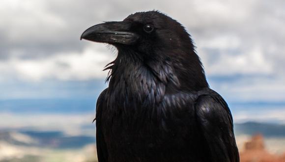 Los cuervos a menudo son mal vistos o despreciados por la gente; sin embargo, son unos de los animales más inteligentes que existen en la naturaleza. (Foto: Pixabay/Referencial)