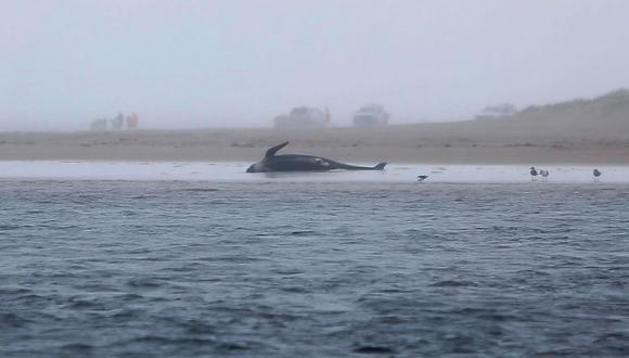 Una ballena varada este 23 de setiembre en una playa en el puerto de Macquarie, en la escarpada costa oeste de Tasmania. Cientos de ballenas piloto han muerto en un varamiento masivo en el sur de Australia a pesar de los esfuerzos por salvarlas, con rescatistas corriendo contra el tiempo para liberar a unas pocas docenas de sobrevivientes. (Foto: AFP / The Mercury / Patrick Gee)