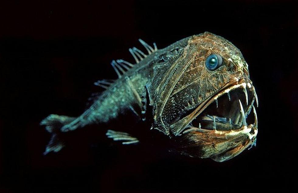 Anoplogaster cornuta. Este pez depredador tiene una cabeza gigante con una variedad de dientes largos. (Wikimedia)