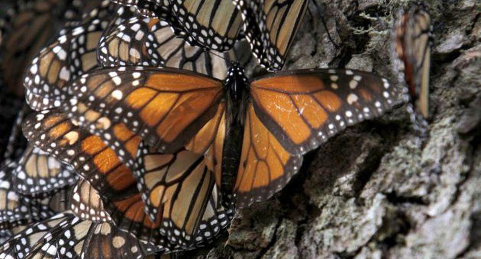 Mariposas viajan más. (AP)