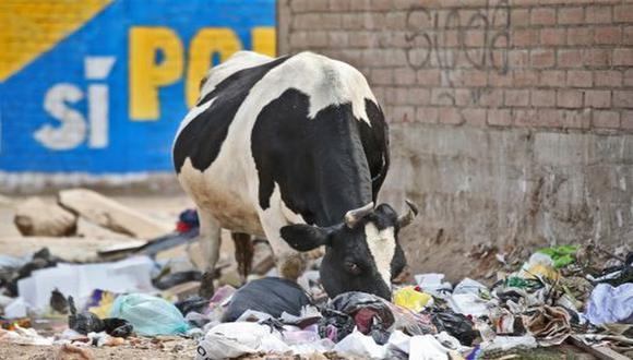 Carabayllo: Vacas se alimentan de desperdicios en plena vía pública (Andina)