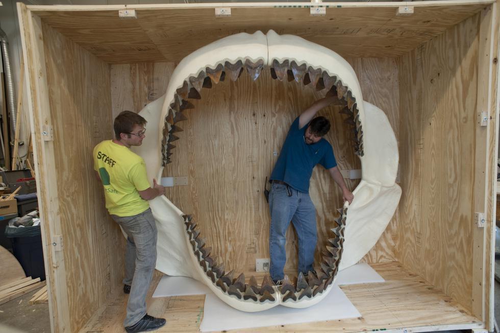 Megalodón: Panamá exhibe los restos del tiburón más grande de la historia. (Museo de Historia Natural de Florida)