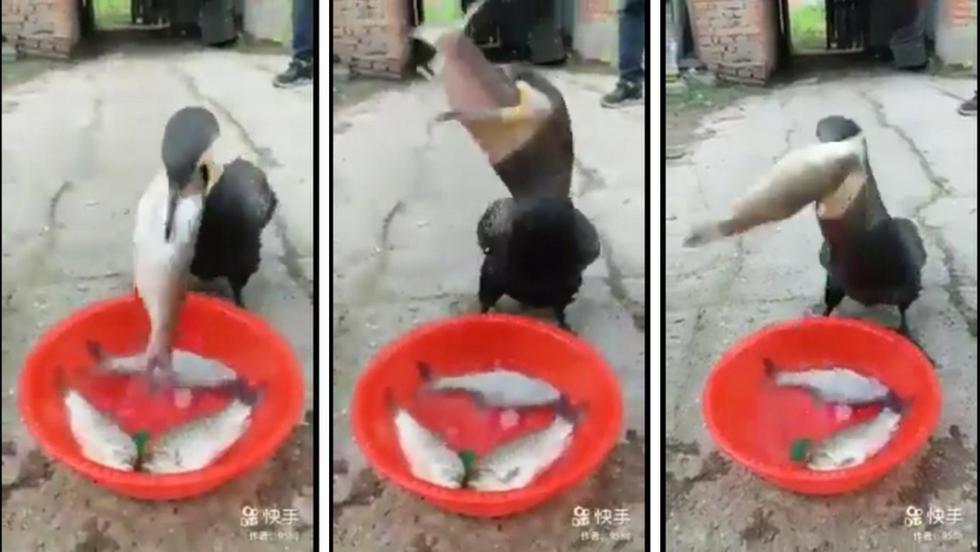 Un ave sorprendió a muchos usuarios de YouTube por comer varios pescados con una rapidez sin igual. (Captura)