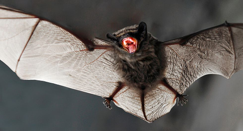 Brote de coronavirus guarda estrecha relación con el consumo de plato a base de murciélago en China. (Foto: Getty Images)