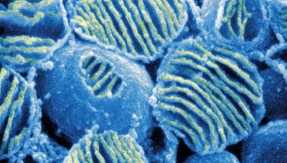 Las mitocondrias almacenan información importante de los seres humanos.  (ISM/SPL)