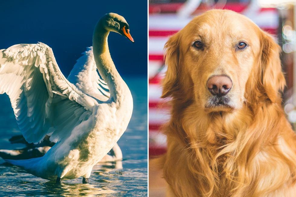 Un perro que solo quería darse un chapuzón fue agredido por un territorial cisne en un estanque en China. (Foto: Pixabay/Pexels/Referencial)