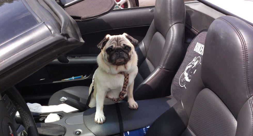 El tierno perro vivió una aventura extrema pues 'condujo' el auto de su dueño por un barrio en Florida, Estados Unidos (Foto: Pixabay)