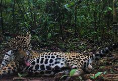Emiten alerta para evitar la caza del jaguar que apareció en la selva de Puno