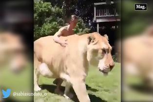Viral: hombre acaricia un 'ligre' como a un tierno cachorro
