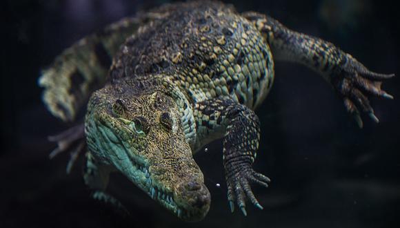 Autoridades de África vienen tomando acciones en contra de cocodrilos. (Getty)