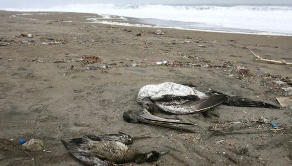 MUEREN DE HAMBRE. Pelícanos no encuentran anchovetas. (David Vexelman)