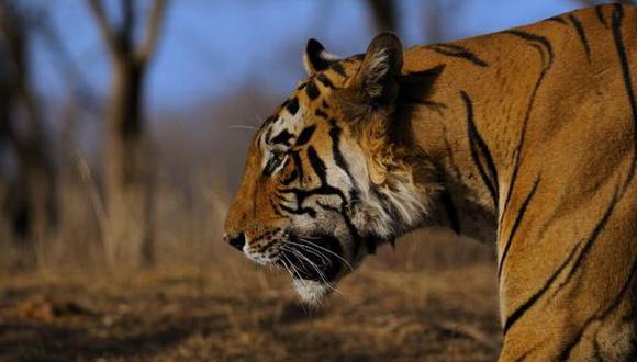 La población mundial de tigres aumentó por primera vez en un siglo, según WWF. (Gettyimages)