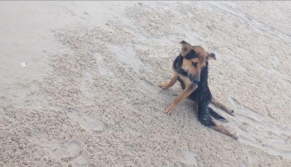 Leo fue hallado arrastrándose en una playa de Tailandia. (Help Save Leo)