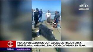 Piura: pobladores regresan al mar a ballena varada en playa