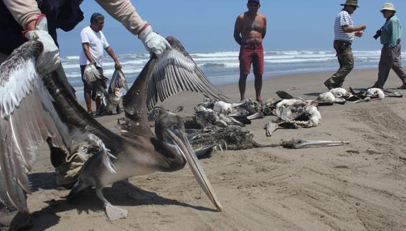 Confirman que pelícanos murieron por inanición. (USI)
