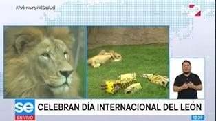 """Parque de las Leyendas agasaja a """"Sultán"""" por el Día Internacional del León"""