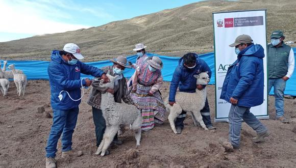 Arequipa: La aplicación de estos productos veterinarios se realizaron en el distrito de Tuti, provincia de Caylloma. (Foto: Agro Rural)
