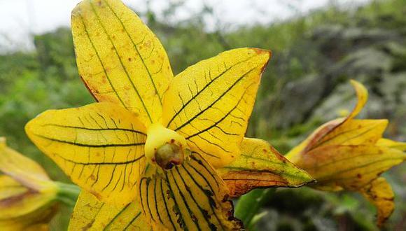Su nombre científico es Chloraea undulata. (Difusión)