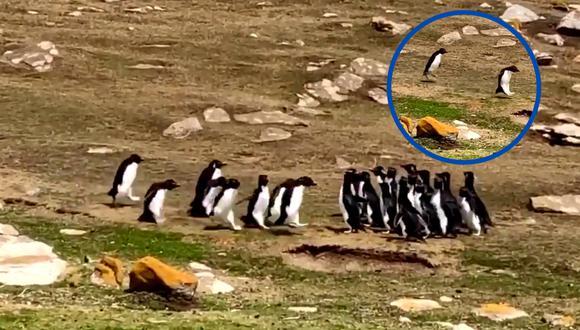 Un video viral tiene como protagonistas a dos grupos de pingüinos que se cruzaron a mitad de camino hacia el mar. | Crédito: @AndzB / Twitter.