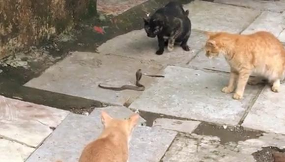 El duelo de una cobra rodeada por cuatro gatos se hace viral en Facebook. (Instagram  neilnitinmukesh)