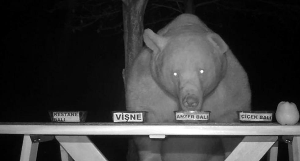 Los hambrientos osos acabaron ganándose su ración de miel proveyendo de su opinión de expertos. (Fotos: DHA - Demirören Haber Ajansı en YouTube)