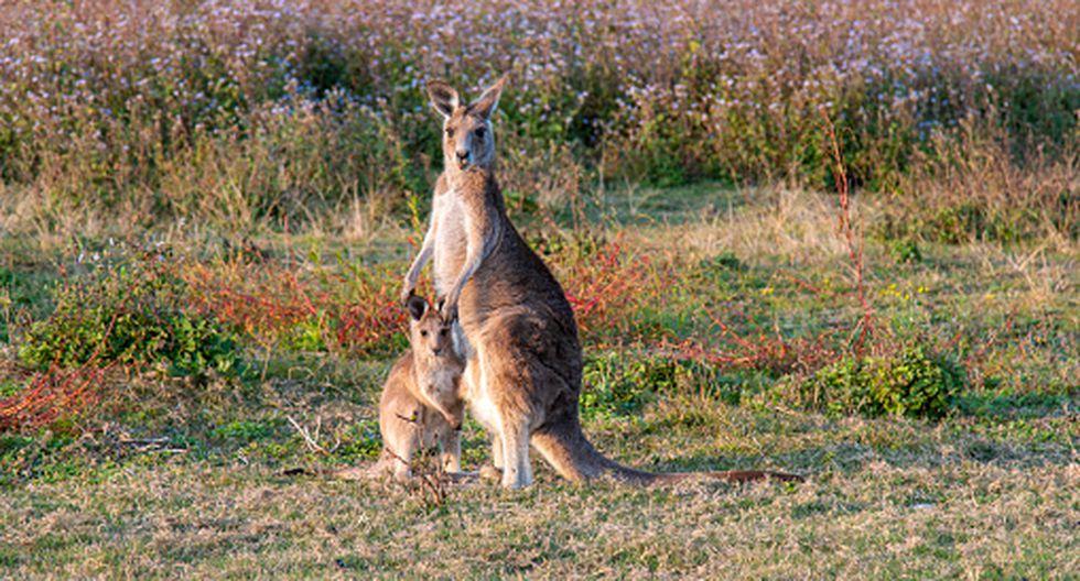 Australia: Docenas de cadáveres de canguros desataron la alarman en Dunkeld sobre un posible 'psicópata'. (Getty)