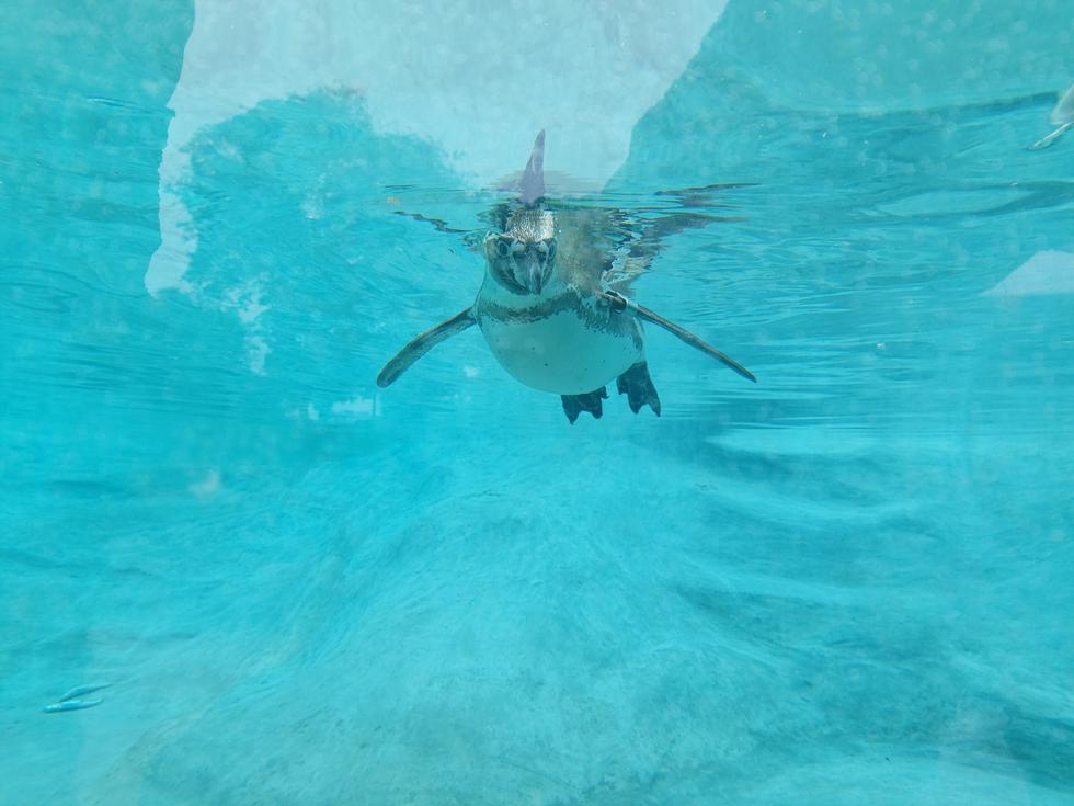 Las plumas de esta especie son pequeñas y están cubiertas de un tipo de aceite que mantiene su piel seca al nadar. (Foto: Municipalidad de Lima)