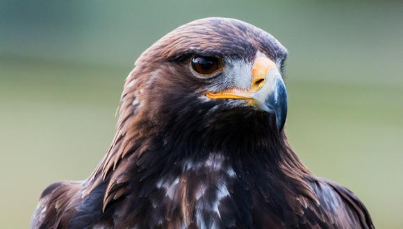 Un video viral muestra el desinteresado gesto de ayuda de un hombre a un águila que solo quería beber algo de agua. | Crédito: Pixabay / Referencial