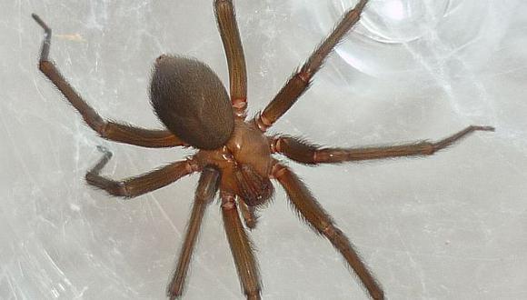 Arañas caseras que pueden causar la muerte habitan el 70% de hogares en Lima, según INS. (Difusión)