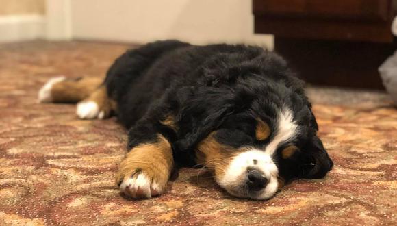 'Mochi' es un adorable cachorro de raza Boyero de Berna que brinda apoyo emocional a las familias que acaban de perder a un ser querido. (Foto: Macon Funeral Home en Facebook)