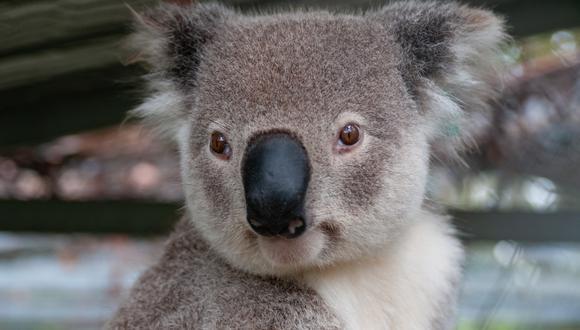 Un video viral tiene como protagonista a un testarudo koala que no quiso se rescatado por un buen samaritano pese a correr el peligro de ser arrollado al encontrarse en medio de una carretera. | Crédito: Pixabay / Pexels / Referencial