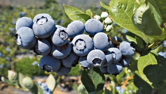 En potencia. Las regiones productoras del fruto fueron La Libertad, Lima, Lambayeque, Áncash e Ica. (USI)