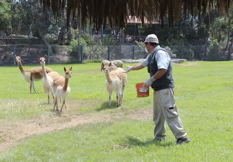 Nacen crías de vicuña, mono leoncito y búfalo en el Parque de las Leyendas. (Difusión)