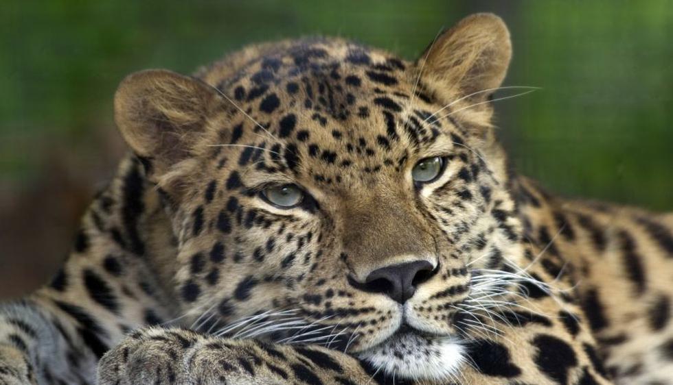 Solo existen entre 25 y 34 ejemplares del leopardo del Amur en Siberia.  La gran mayoría se halla en zoológicos de Europa y EEUU. Estos animales son cazados en Rusia y parte de Asia por su pelaje. (AP)