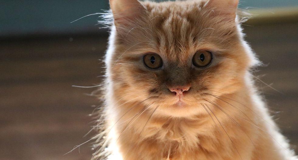 Para muchos, el gato es un gran actor. (Foto: Referencial - Pixabay)