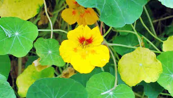 Mastuerzo, la planta milagrosa. (Difusión)