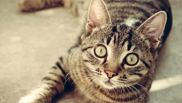 Una gata y sus crías tomaron por asalto el hogar de un hombre en Reino Unido. (Foto:  Sbringser/Pixabay)