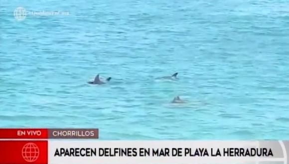 Delfines son vistos en playa La Herradura en Chorrillos durante la cuarentena [VIDEO]