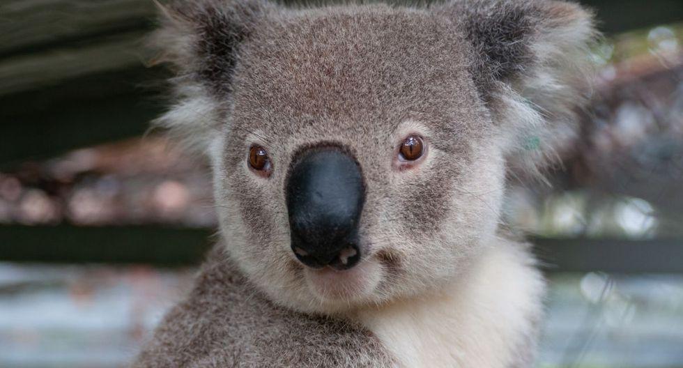 Un koala fue captado lamiendo el agua de lluvia de una carretera cerca de la ciudad de Moree (Nueva Gales del Sur, Australia). (Foto: Pixabay)