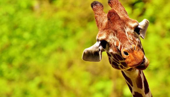 Un video viral muestra el peculiar movimiento que hacen las jirafas para agachar su largo cuello y alimentarse de algo más aparte del follaje de los árboles. | Crédito: Pixabay / Referencial.