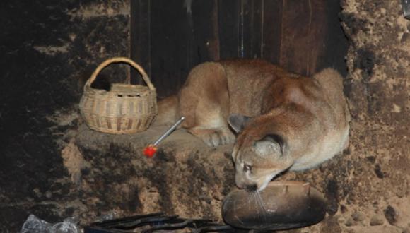 Huancavelica: Puma andino entra a vivienda en busca de comida y familia lo encierra en la cocina (Foto: Serfor)