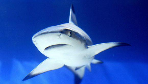 Un tiburón apareció cerca de la orilla de una playa estadounidense. (AFP)