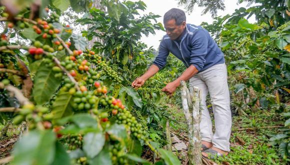 La producción de café en el Valle del Monzón experimentó un crecimiento del 30% en el presente año y se prevé que llegue a más de 700 toneladas. (Difusión)