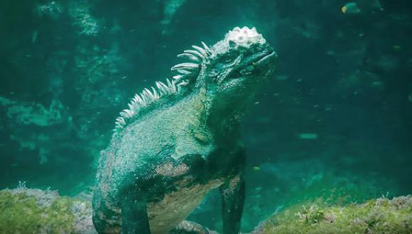 Godzilla: Esta iguana de Galápagos recuerda al mítico personaje japonés (YouTube)