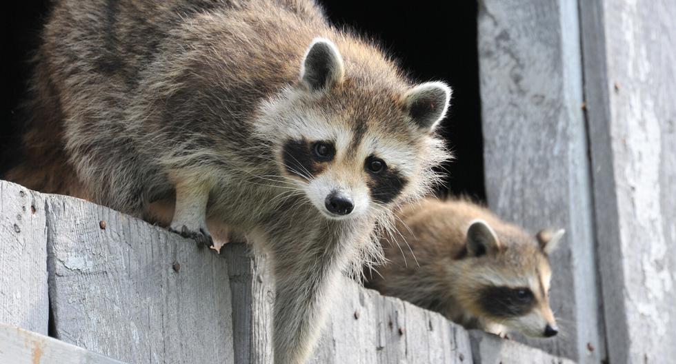 Un grupo de mapaches quedó atrapado en una casa a la que se metieron sin invitación. (Foto: Pixabay/Referencial)