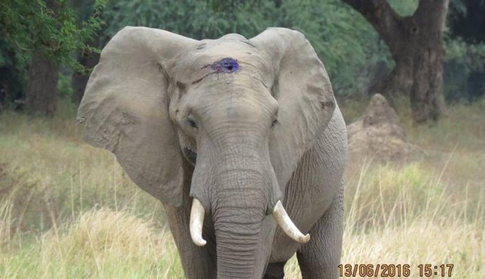 'Pretty Boy': El elefante que sobrevivió a un disparo en la cabeza y camino durante semanas por ayuda. (AWARE)