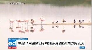 Chorrillos: cifra histórica de parihuanas en los Pantanos de Villa