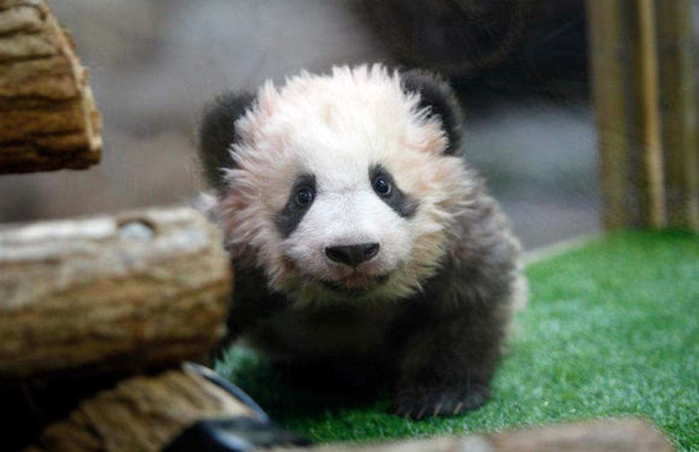 Panda (AFP)